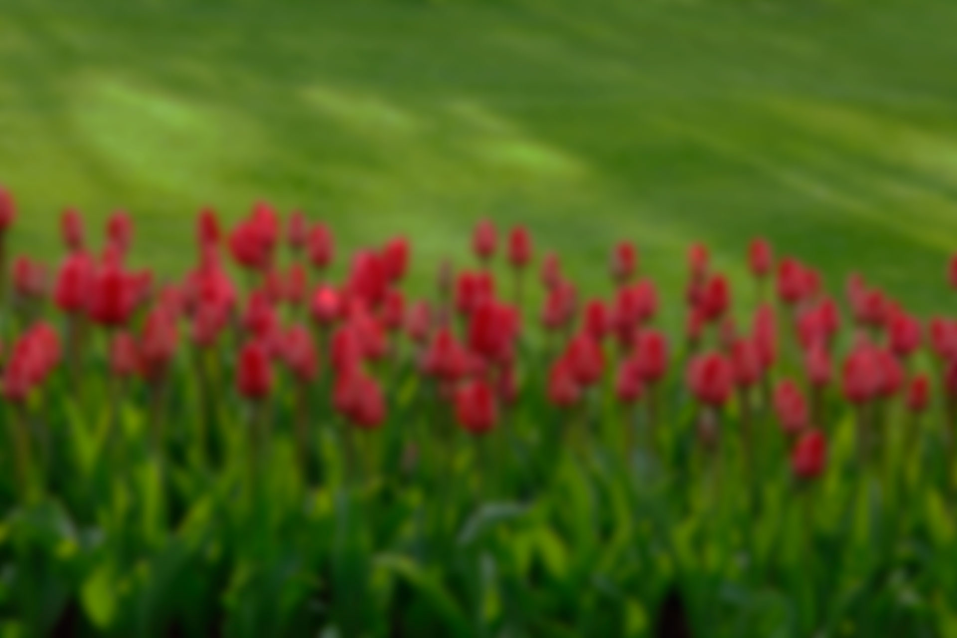 tulips-21620-1